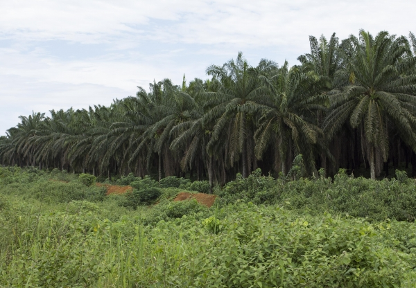 On the African Palm Oil Frontier in The Guardian
